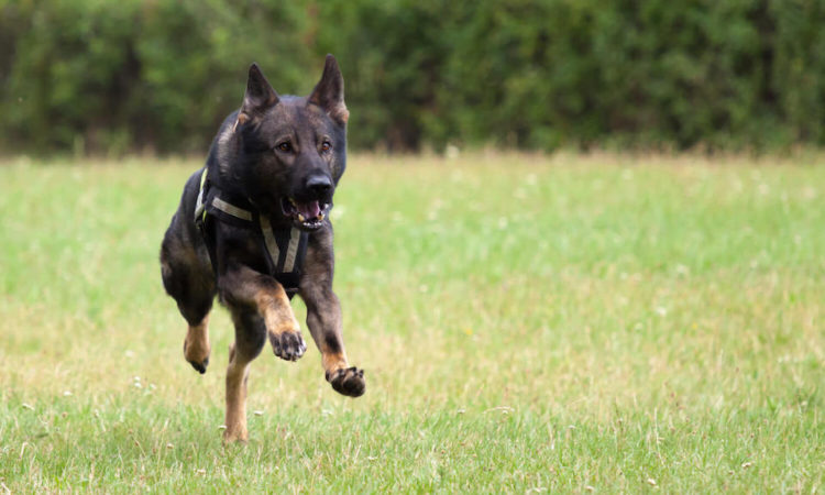 Dog Attack Results in Police Intervention